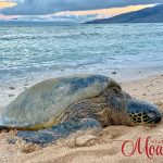 turtlesonourbeach_800