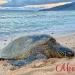 turtlesonourbeach_800